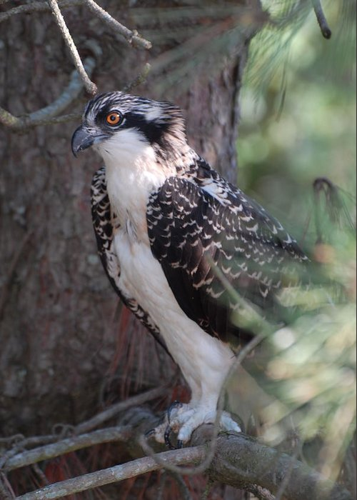 Osprey Greeting Card featuring the photograph Osprey 37 by Joyce StJames