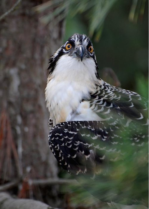 Osprey Greeting Card featuring the photograph Osprey 374 by Joyce StJames