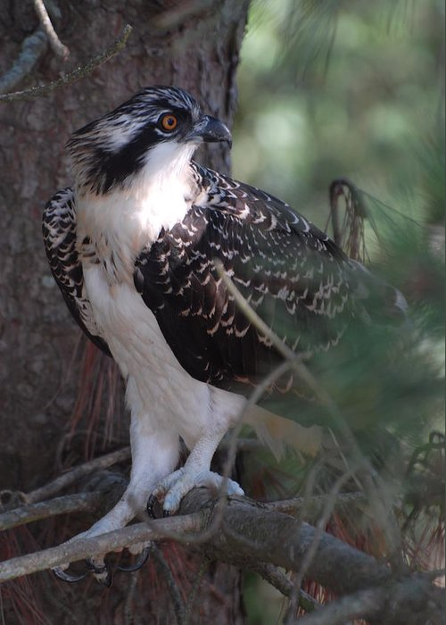 Osprey Greeting Card featuring the photograph Osprey 40 by Joyce StJames