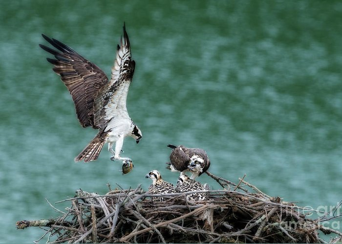 Male Osprey Greeting Card featuring the photograph Osprey Bringing Fodd To The Babies by Dan Friend
