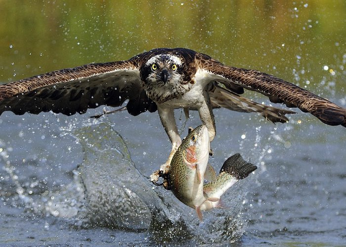 Osprey Greeting Card featuring the photograph Osprey Catching Trout by Scott Linstead