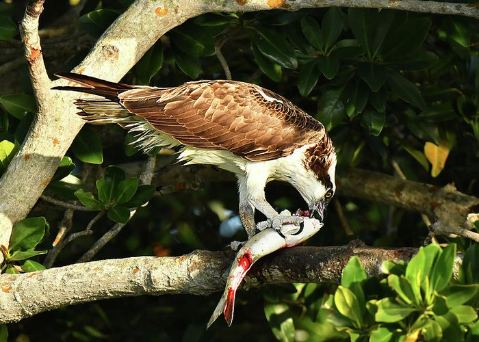 Bird Greeting Card featuring the photograph Osprey Dining by Alan Lenk