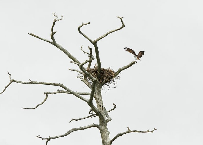 First Landing State Park Greeting Card featuring the photograph Osprey Nest by MotionOne Studios