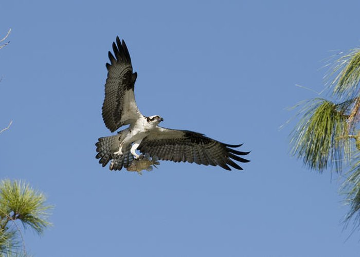 Bird Greeting Card featuring the photograph Osprey With Fish by Chad Davis