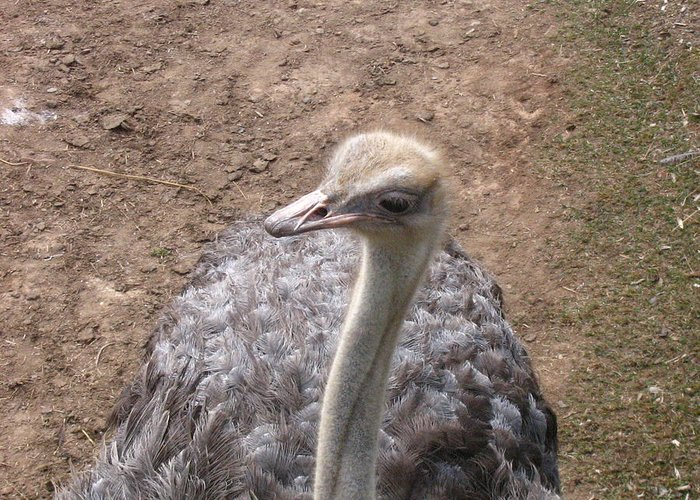 Ostrich Greeting Card featuring the photograph Ostrich by Melissa Parks