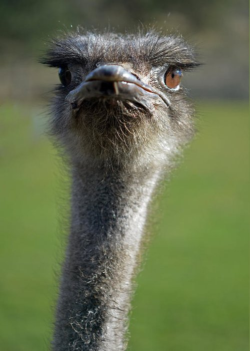 Birds Greeting Card featuring the photograph Ostrich What A Face by Laura Mountainspring