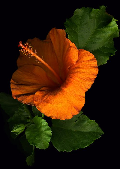Hibiscus Greeting Card featuring the photograph Outrageous Orange by Deborah J Humphries