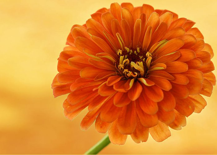 Flower Greeting Card featuring the photograph Outrageous Orange by Sandy Keeton
