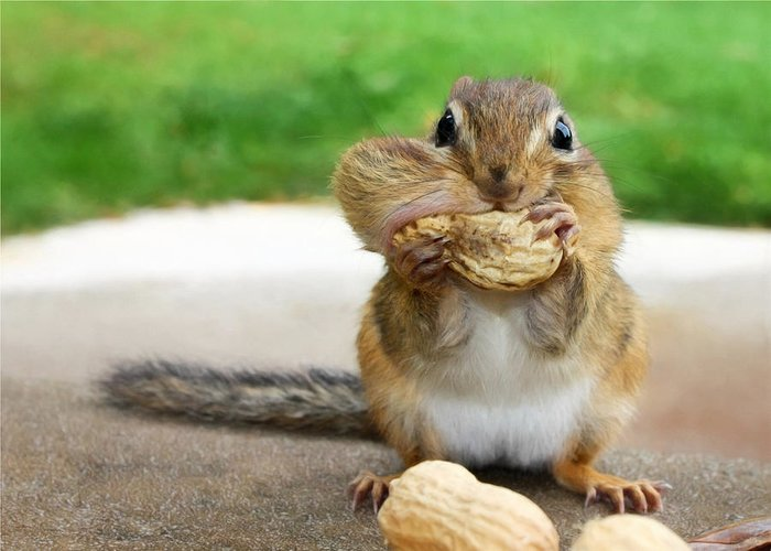 Chipmunk Greeting Card featuring the photograph Overstuffed by Lori Deiter