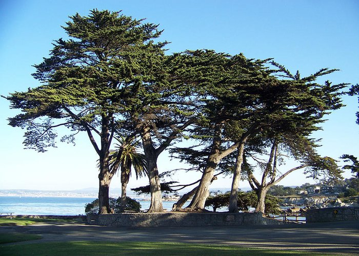 Seascape Greeting Card featuring the photograph Pacific Grove Cypress Grove by Maggie Cruser