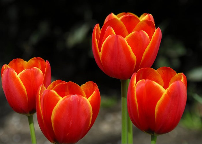 Tulips Greeting Card featuring the photograph Pacific Northwest Tulips 5 by Keith Gondron