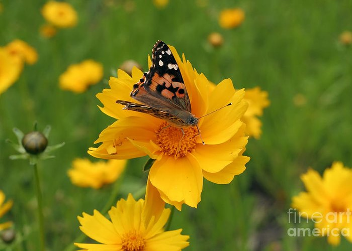 Painted Greeting Card featuring the photograph Painted Lady Butterfly by Jeannie Burleson
