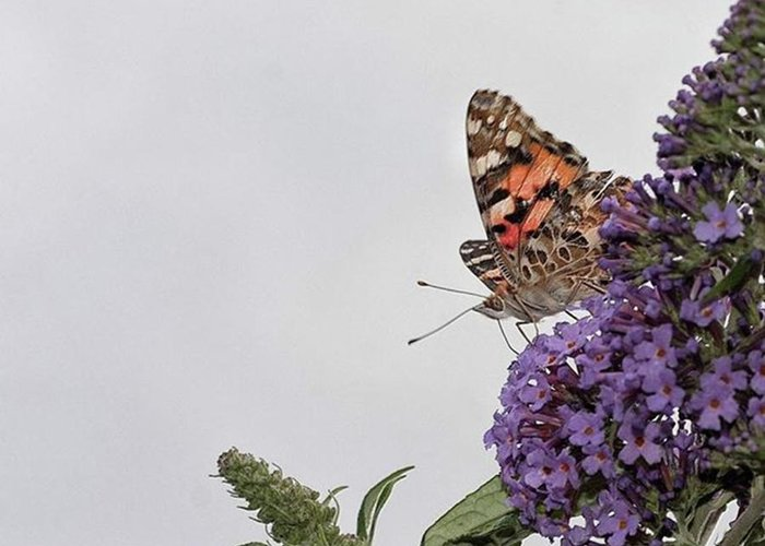 Insectsofinstagram Greeting Card featuring the photograph Painted Lady (vanessa Cardui) by John Edwards