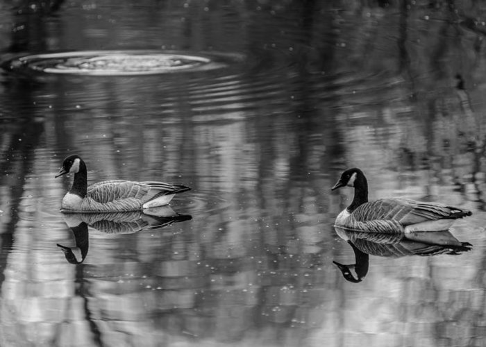 Black And White Greeting Card featuring the photograph Pair Of Geese, Nisqually National Wildlife Refuge, Washington, 2016 by Steve G Bisig