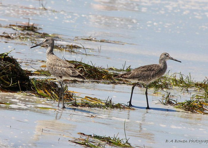 Willets Greeting Card featuring the photograph Pair Of Willets by Barbara Bowen