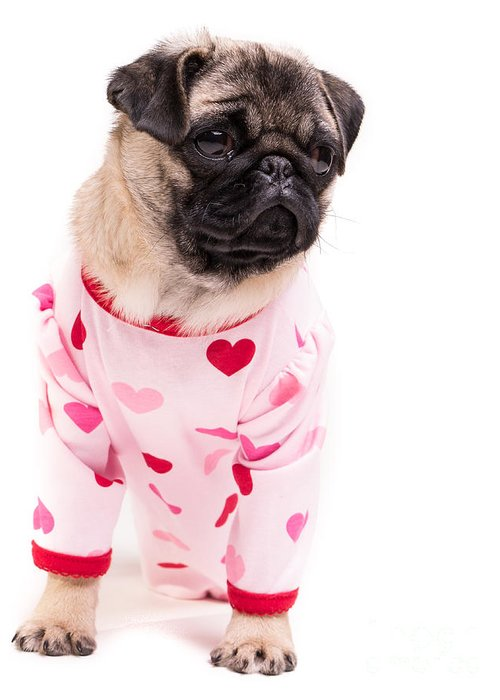 Pug Greeting Card featuring the photograph Pajama Party by Edward Fielding