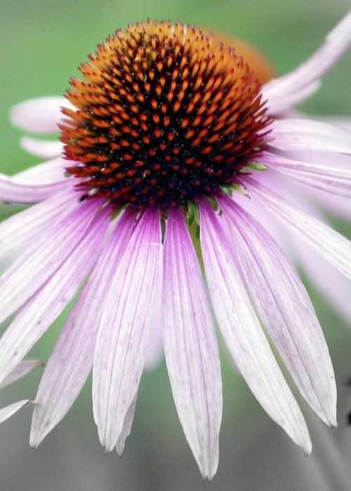 Flowers Greeting Card featuring the photograph Pale Grey by Marty Koch