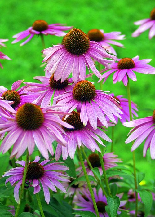 Flowers Greeting Card featuring the photograph Pale Purple Coneflowers by Marty Koch