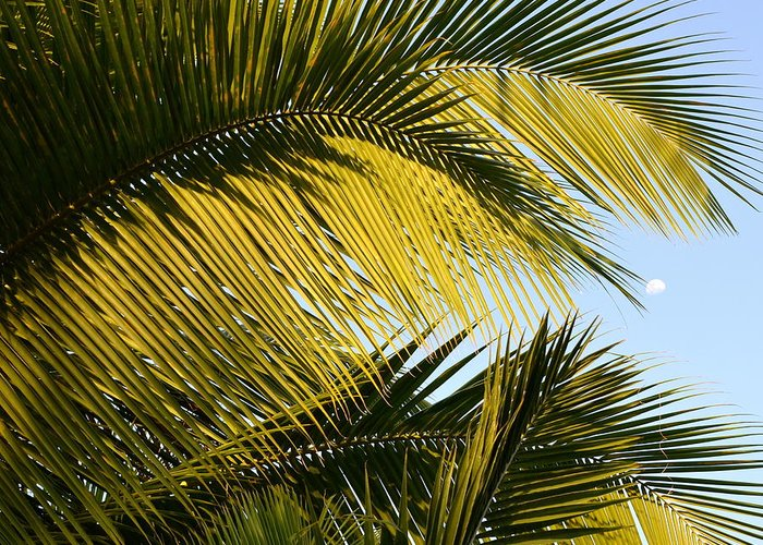 Palm Tree Greeting Card featuring the photograph Palm Detail by Corinne Rhode