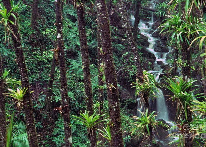 Puerto Rico Greeting Card featuring the photograph Palm Trunks And Waterfall El Yunque by Thomas R Fletcher