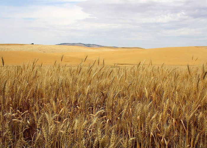 Palouse Greeting Card featuring the photograph Palouse Wheat Fields by Sarah Hamilton