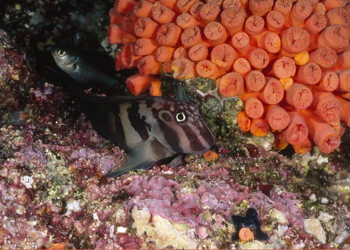 Sea Of Cortez Greeting Card featuring the photograph Panamic Fanged Blenny On Coral Reef by James Forte