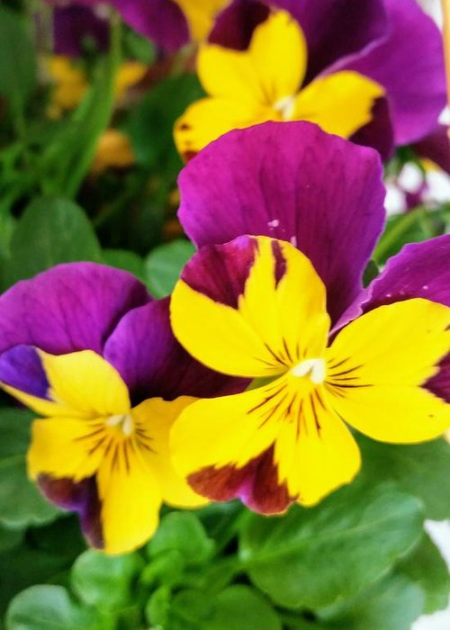 Pansies Greeting Card featuring the photograph Pansies 2 by Valerie Josi