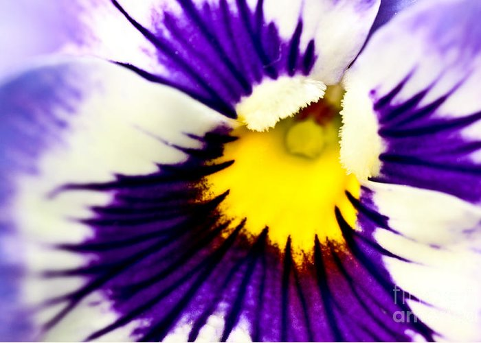 pansy Violets Greeting Card featuring the photograph Pansy Violets by Ryan Kelly