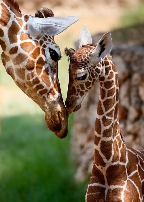 Giraffe Greeting Card featuring the photograph Parent-child Relationship by Yuri Peress