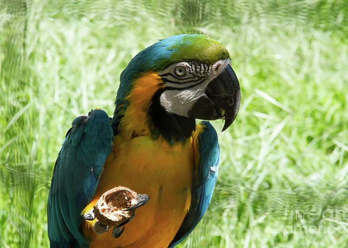 Parrot Greeting Card featuring the photograph Parrot Eating Nut by Josephine Cleopahrt