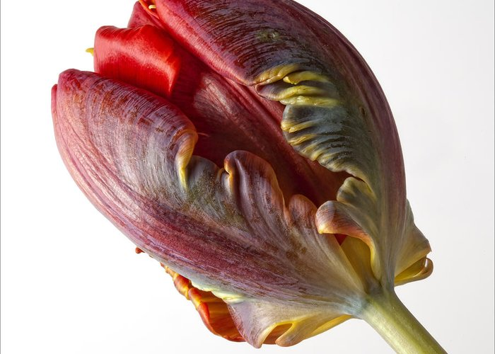 Flower Greeting Card featuring the photograph Parrot Tulip 1 by Robert Ullmann