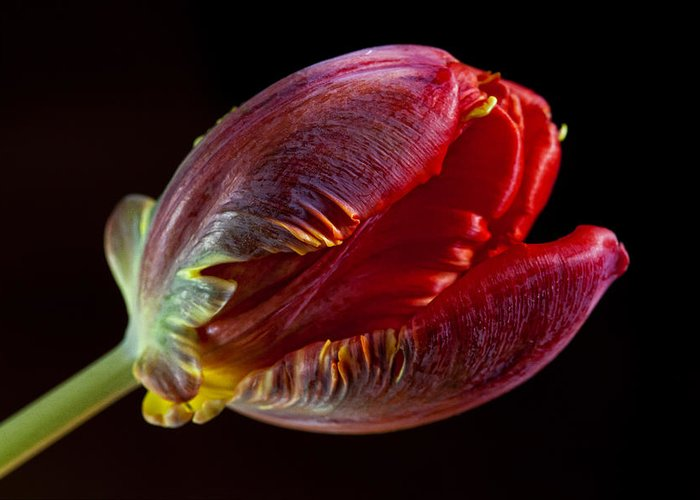 Flower Greeting Card featuring the photograph Parrot Tulip 11 by Robert Ullmann