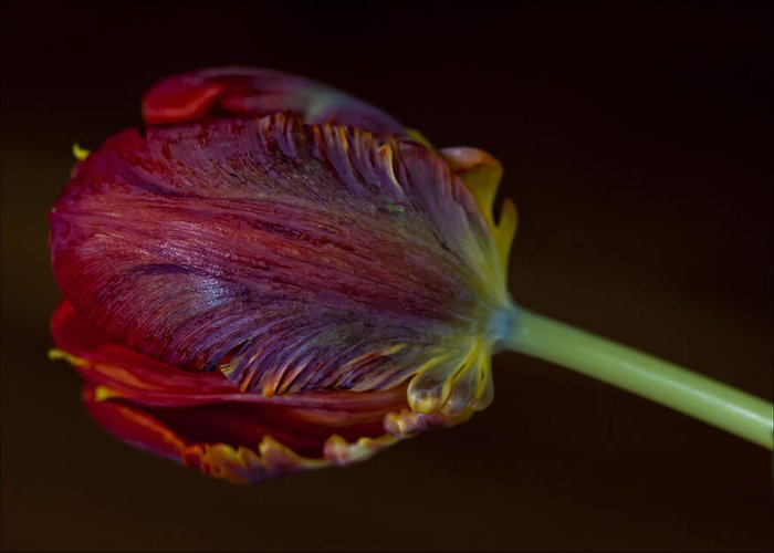 Flower Greeting Card featuring the photograph Parrot Tulip 12 by Robert Ullmann