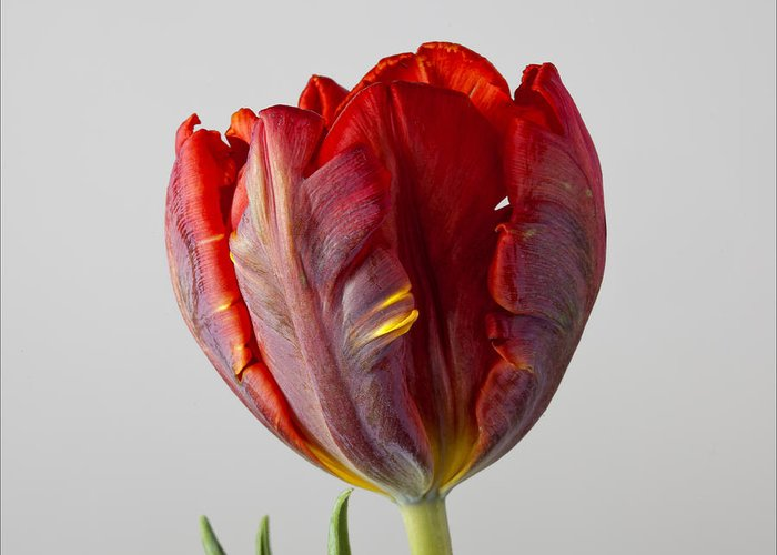 Flower Greeting Card featuring the photograph Parrot Tulip 3 by Robert Ullmann
