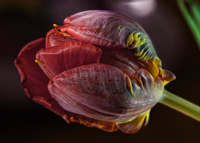 Flower Greeting Card featuring the photograph Parrot Tulip 4 by Robert Ullmann