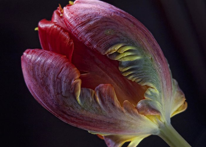 Flower Greeting Card featuring the photograph Parrot Tulip 5 by Robert Ullmann