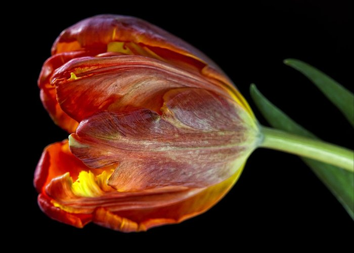 Flower Greeting Card featuring the photograph Parrot Tulip 6 by Robert Ullmann
