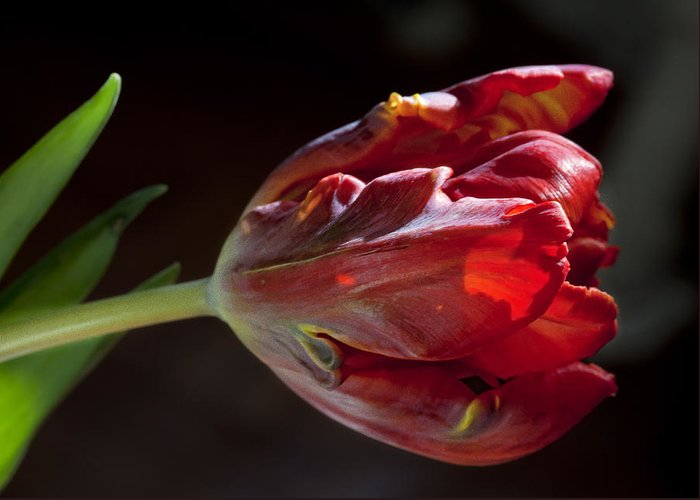 Flower Greeting Card featuring the photograph Parrot Tulip 7 by Robert Ullmann