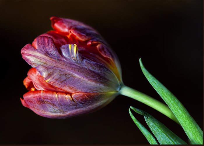 Flower Greeting Card featuring the photograph Parrot Tulip 8 by Robert Ullmann