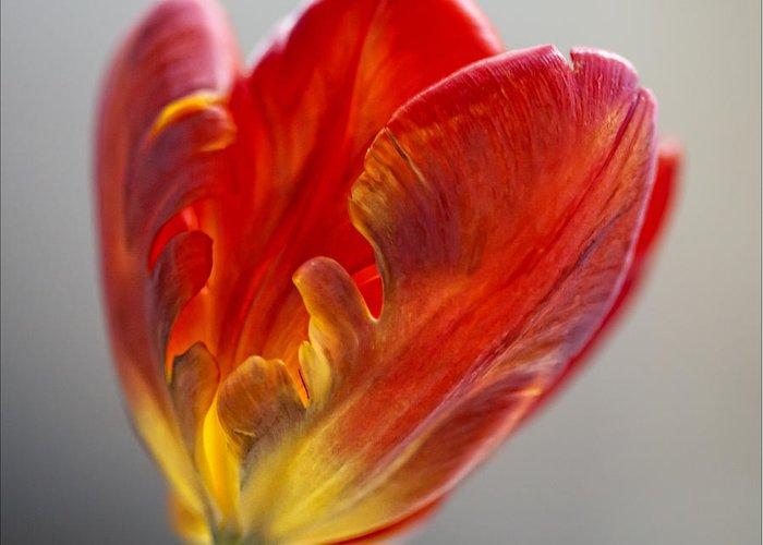 Flower; Flower Still Life; Tulip; Parrot Tulip; Tulip Still Life; Parrot Tulip Still Life; Floral Still Life; Nature; Robert Ullmann; Fine Art; Interior Design; Interior Decoration; Still Life Greeting Card featuring the photograph Parrot Tulip 9 by Robert Ullmann