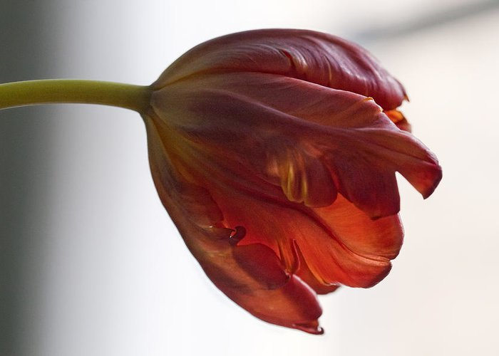 Flower Greeting Card featuring the photograph Parrot Tulips 14 by Robert Ullmann
