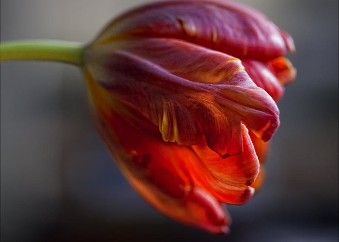 Flower Greeting Card featuring the photograph Parrot Tulips 16 by Robert Ullmann