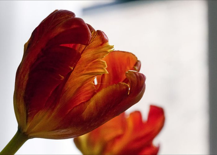 Flower Greeting Card featuring the photograph Parrot Tulips 18 by Robert Ullmann