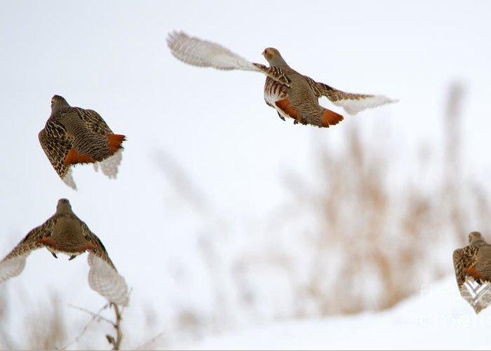 Partridge Flight Greeting Card