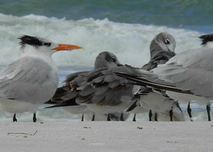 Birds Greeting Card featuring the photograph Party At The Beach by Amanda Vouglas
