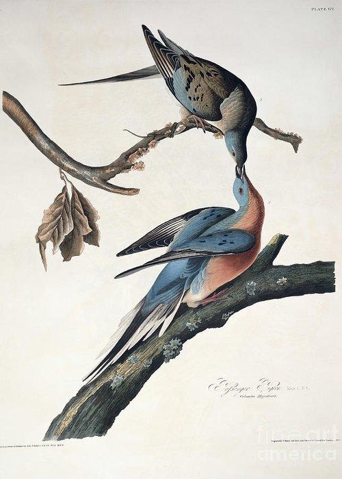 Passenger Pigeon Greeting Card featuring the drawing Passenger Pigeon by John James Audubon