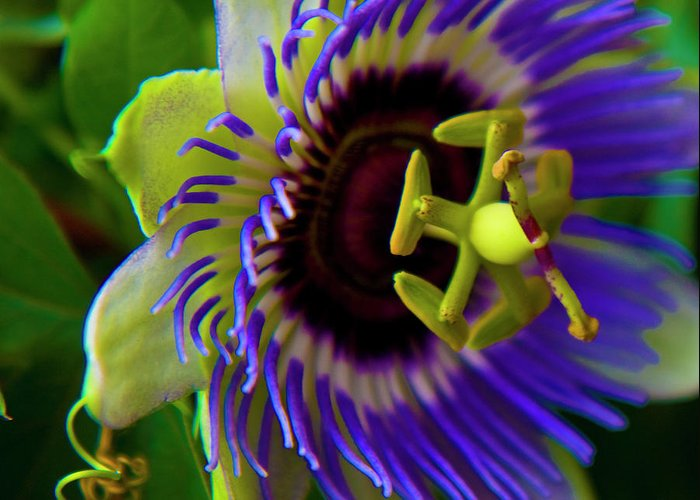 Flower Greeting Card featuring the photograph Passion-fruit Flower by Betsy Knapp