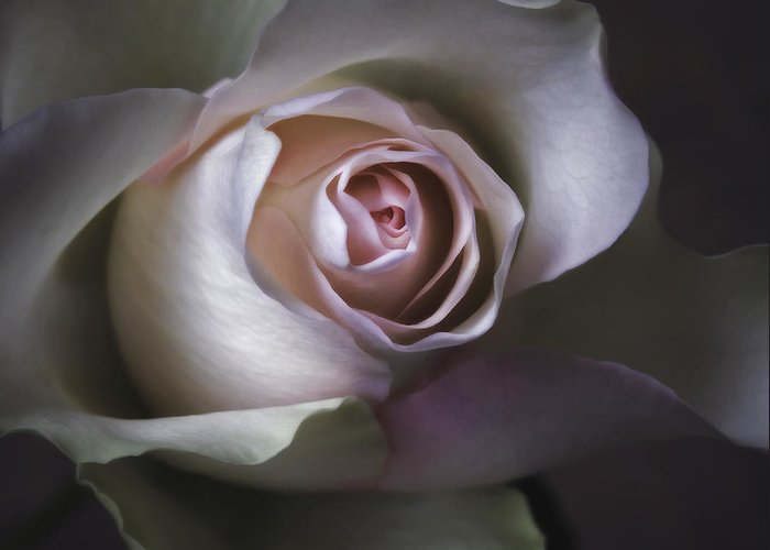 All Greeting Card featuring the photograph Pastel Flower Rose Closeup Image by Artecco Fine Art Photography