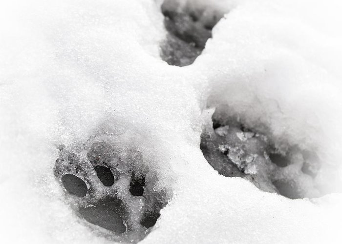 Animal Greeting Card featuring the photograph Paw Print by Tom Gowanlock