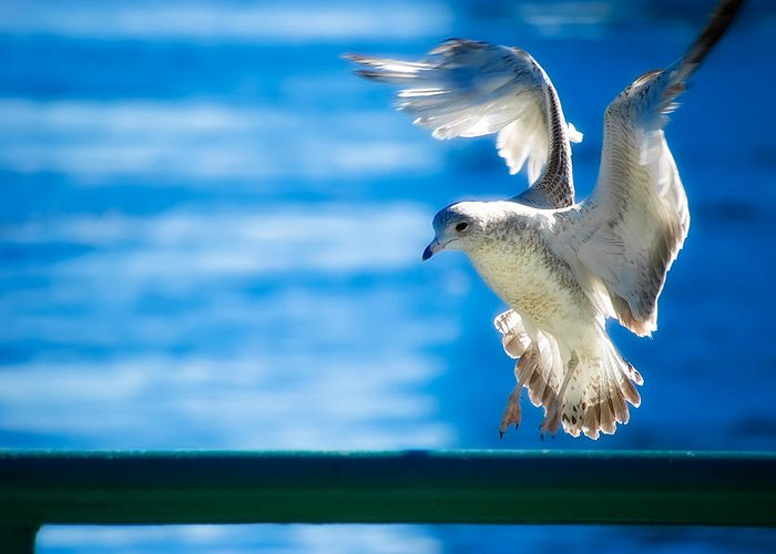 Animal Greeting Card featuring the photograph Peace Gull by Rich Leighton
